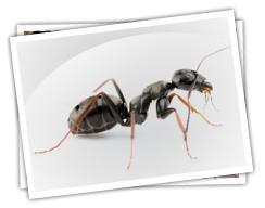 domestic_ants